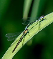 Aurora Damselfly (Chromagrion conditum) mating