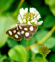 White-spotted Sable Moth (Amana funebris)