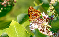 Great Spangled Fritillary (Callophrys gryneus)