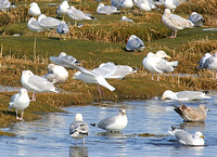 Iceland Gull with Herring and Ring-billed Gulls