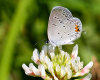 Eastern Tailed Blue (Cupido comyntas), ventral view