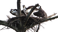 Ospreys .. Adult flanked by two Juveniles