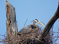 Medium Distance Nest #1 at Digiscoped at 1,200mm (2,400mm with DMC-G1 Crop Factor)