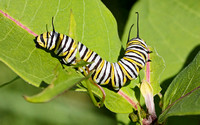 Monarch (Danaus plexippus) Butterfly Caterpillar