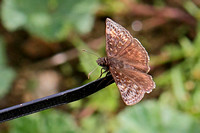 Wild Indigo Duskywing (Erynnis baptisiae), female with very small glassy spots?