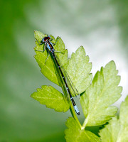 Aurora Damselfly (Chromagrion conditum)