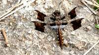 Common Whitetail Dragonfly (Libellula (Ladon) julia), immature male
