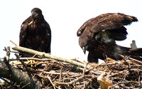 Bald Eagle, male on the left, female on the right.