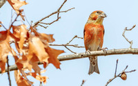 Red Crossbill (Loxia curvirostra), male