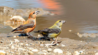Red Crossbill (Loxia curvirostra), male left, female right