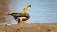Red Crossbill (Loxia curvirostra), female