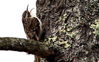 Brown Creeper, Singing