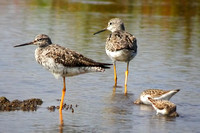 Greater Yellowlegs with White-rumped Sandpipers