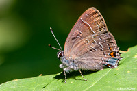 2014/06-08 Shrewsbury Hairstreaks