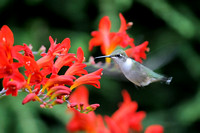 Ruby-throated Hummingbird on Crocosmia