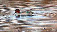 Green-winged Teal ... American or Eurasian?