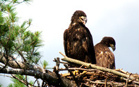 Bald Eagle, female on the left, male on the right.