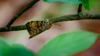 Gypsy Moth (Lymantria dispar dispar), male