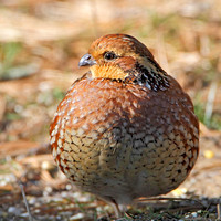 Northern Bobwhite (Colinus virginianus), Female