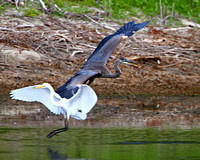 Great Blue Heron flushes a Great Egret