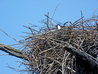 Medium Distance Nest #2 at Digiscoped at 1,200mm (2,400mm with DMC-G1 Crop Factor)