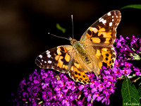 Painted Lady (Vanessa cardui), worn