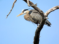 Great Blue Heron Digiscoped at 2,400mm equivalent focal length