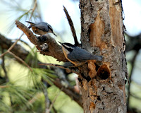 Red-breasted Nuthatch Courtship
