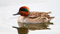 American Green-winged Teal (Anas crecca), Juvenile Male