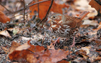 Fox Sparrow (Red)