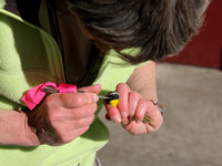 Removing Ticks from a Male Common Yellowthroat