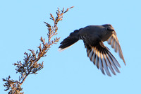 Townsend's Solitaire takes flight
