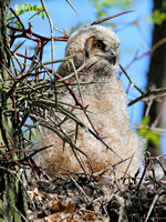 Great Horned Owl, Great Thorned Owl subspecies aka Unicorn Owl