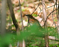 Brown Thrasher in Unusual Habitat