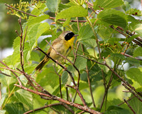 Common Yellowthroat (Warbler)