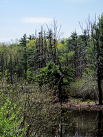 Distant View of the Canada Goose Nest (on the left)