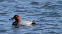 Canvasback (Male)