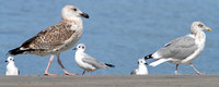 Bonaparte's Gulls watching Great Black-backed & Herring Gull on the runway