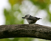 White-breasted Nuthatch Carrying Food