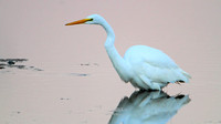 Great Egret (Ardea alba) at daybreak