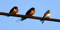 Barn Swallows & Northern Rough-winged Swallow