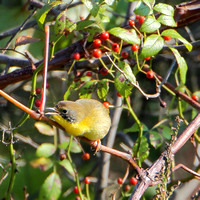Juvenile Common Yellowthroat (male)