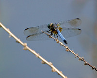 Blue Dasher (Pachydiplax longipennis) Dragonfly