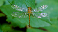 Immature Meadowhawk Species Dragonfly