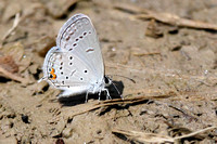 Eastern Tailed-Blue (Everes comyntas)