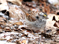White-throated Sparrow, Molting