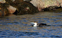 Common Loon, Winter Plumage