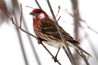 White-checked House Finch