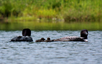 Common Loon with 5 day old hatchlings