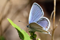 Eastern Tailed-Blue (Everes comyntas) Close-up View